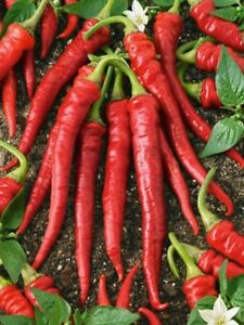 Pepper Cayenne Red 100 Seeds