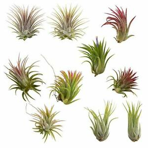 10 Pack Assorted Tillandsia Ionantha Color Changing Air Plants FREE SHIPPING