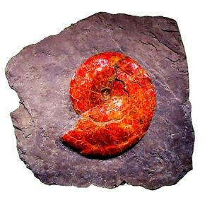EBAY AMMONITE FOSSIL MUSEUM MASTERPIECE DISPLAY CERTIFIED GEM RARE LARGE 45
