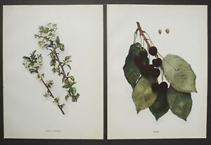 1900 Set of 2 Antique lithographs of CHERRIES. Fruits. Cherry Tree. Botany $16.00