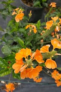 Orange Crossandra Live Plants 6  to 8 Inches Tall 4 inches pot size