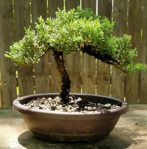 Juniper Procumbens nana Bonsai tree in a 9 3/4