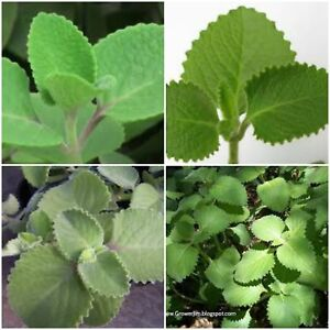 2 Cuban Oregano~Mexican Mint~Spanish Thyme~Well Rooted plant 5 to 10 Inches