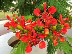 FLAMBOYAN !!!  LIVE RED ROYAL POINCIANA TREE 7 TO 12 INCHES TALL