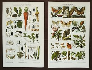 1897 Set of 2 Antique lithographs of INSECTS HARMFUL to PLANTS. Phytopathology. $12.00