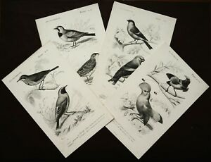 1849 Set of 4 Antique Lithographs BIRDS. SONGBIRDS. ORNITHOLOGY. 171 years old. $16.00