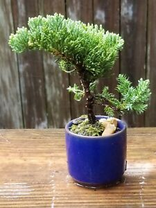 Juniper Bonsai tree blue crackle glaze 2.5