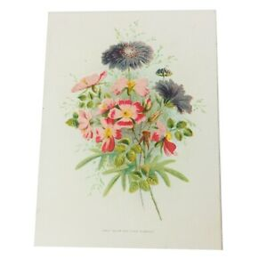 Vintage Lithograph Print Sweet Briar and Field Scabious Flowers 6