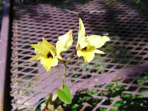 AWESOME Laelia aureum Bloom size 2