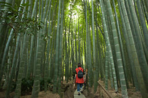 100 Giant moso bamboo seeds Phyllostachys pubescens USA Seller