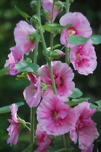 Heirloom HOLLYHOCK Seeds 50 Semi-double Pink and 125 Mixed Colors FRESH  SEEDS