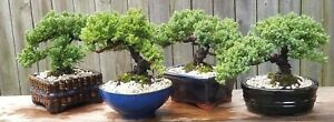 A Juniper bonsai. Beautiful healthy tree with thick trunk and great shape $65.00
