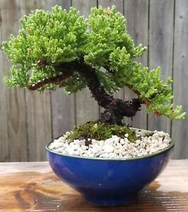 Juniper Procumbens Nana Bonsai.Blue glazed organic shaped ceramic Pot.