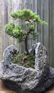 Juniper Procumbens Bonsai tree in a hand carved lava rock pot. Made in USA.