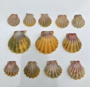 12 Sunrise Shell Shells Langford Pecton Wholesale Lot Hawaii Hawaiian Rare