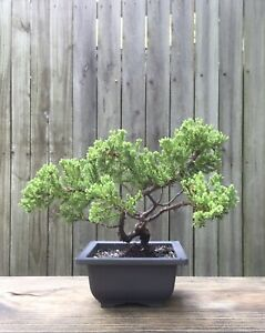 Juniper Procumbens Bonsai tree in a 4