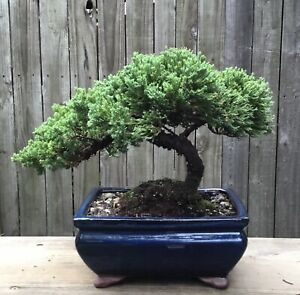Juniper Procumbens Bonsai tree in a Blue Glazed ceramic 8 inch pot .Made in USA