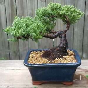 Juniper Procumbens Bonsai tree in a Blue Ceramic Rectangle pot.Fat trunk beauty.