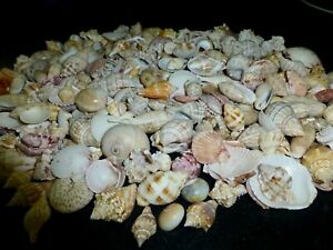 Big Lot of Sea Shells from Sanibel Island Florida Tulips Murex Olives and More