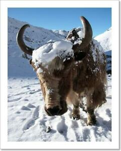 Yak Covered With Art Print Canvas Print. Poster Wall Art Home Decor D