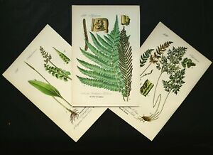 FERNS SET OF 3 ANTIQUE LITHOGRAPHS FROM 1880. BOTANY. 141 years old prints. $24.00