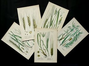 1885 Set of 5 Antique Lithographs of CEREALS different species. Bakery. Baker. $24.00