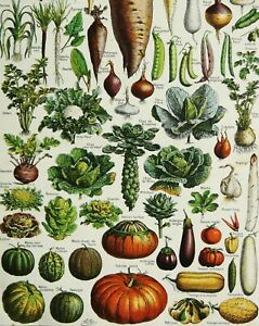 1900 Antique lithograph of VEGETABLES HORTICULTURE GARDENING. 121 years old. $16.00