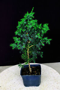 Foemina Juniper ( Needle Juniper ) Pre-Bonsai Tree - 6