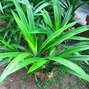 Pandan fragrant Leaves, Pandanus amaryllifolius rooted live Plant from USA Fresh