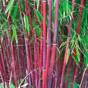 50 Rare Red Bamboo Seeds Privacy Plant Garden Clumping Exotic Shade Screen