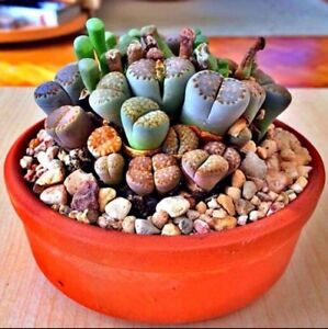 RARE Lithops MIX succulent cactus EXOTIC living stones desert rock seed 50 SEEDS $7.25