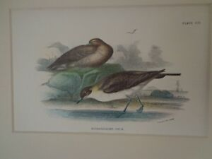 ANTIQUE 19TH CENTURY FRAMED PRINT OF SHOREBIRDS  BY W.H. ALLEN 1894 LONDON  $39.00