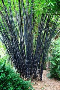 50 Tropical Black Bamboo Seeds Privacy Plant Garden Clumping Exotic