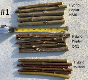 hybrid poplar cuttings, hybrid willow-austree cuttings, fast growing tree