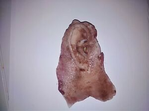 Silicone movie prop severed ear gore horror spfx spx film quality ripped off ear