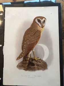 Chromolithograph PrintBook Of Birds - The Java Owl - Strix Javanica $10.00