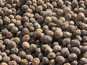 Black Walnuts In The Shell 9 10 lb.Box Full Good for Eat Bake Squirrel Food $34.99