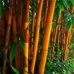 50 Orange Bamboo Seeds Privacy Seed Garden Clumping Exotic Screen 391 US SELLER
