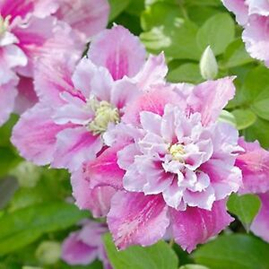 25 Double Pink White Clematis Seeds Flowers Seed Perennial Flower 89 US SELLER