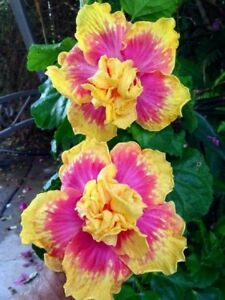 20 Double Pink Yellow Hibiscus Seeds Hardy Flower Garden Exotic Perennial 140