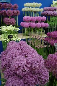 100Pcs Allium Seeds 28 Kind Rare Onion Beautiful Decor in Garden Viable Plant