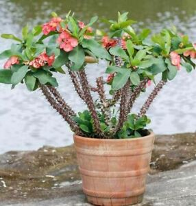Crown of Thorns / Euphorbia Milii Plant/cutting beautiful red flowers