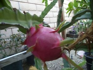 Rooted & Sprouted Healthy Red Dragon Fruit Pitaya Cactus Cutting Plant 5