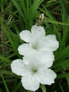 5 WHITE MEXICAN PETUNIA~RUELLIA BRITTONIANA PERENNIAL WELL ROOTED PLUG SIZE
