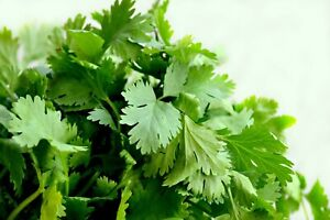 Cilantro Seeds, Leisure Coriander, Oriental & Mexican Cuisine, FREE SHIPPING