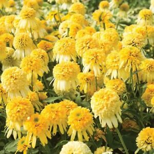 50 Double Yellow Coneflower Seeds Flower Perennial Flowers Seed 11 US SELLER