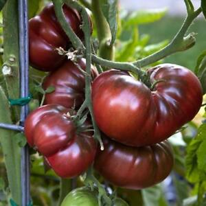 Black Brandywine Tomato, NON-GMO, Potato Leaf, Variety Sizes Sold, FREE SHIPPING