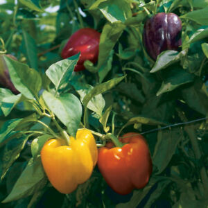 Rainbow Bell Pepper Seeds, Capsicum anuum, NON-GMO, Variety Sizes, FREE SHIPPING