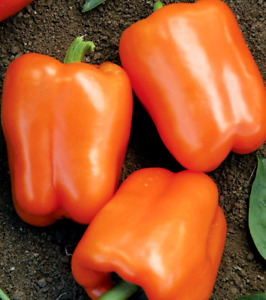 Orange Sweet Bell Pepper NON GMO Heirloom Variety Sizes FREE SHIPPING $6.49