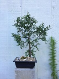 Live Juniper Bonsai Tree In 8
